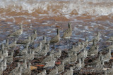 Black-tailed Godwit 9297.jpg