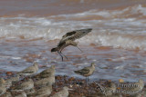 Black-tailed Godwit 9300.jpg