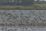 Bar-tailed Godwit 1106.jpg