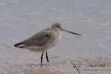 Bar-tailed Godwit 2451.jpg