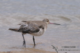 Bar-tailed Godwit 2453.jpg