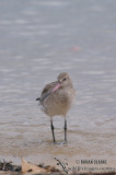 Bar-tailed Godwit 2456.jpg