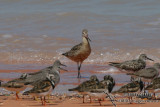 Bar-tailed Godwit 9136.jpg