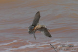 Bar-tailed Godwit 9299.jpg