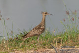 Little Curlew