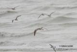 Eurasian Curlew 0507.jpg