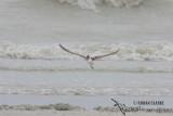 Eurasian Curlew 0542.jpg