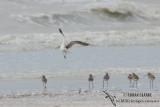 Eurasian Curlew 0588.jpg