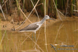 Common Greenshank 0261.jpg