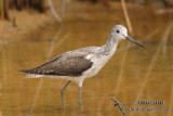 Common Greenshank 0266.jpg