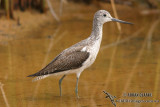 Common Greenshank 0267.jpg