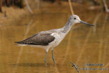 Common Greenshank 0268.jpg