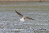 Common Greenshank 0844.jpg