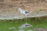 Common Greenshank 4438.jpg