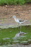Common Greenshank 4441.jpg