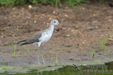 Common Greenshank 4444.jpg