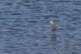 Common Greenshank 4968.jpg