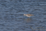 Common Greenshank 4970.jpg