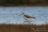 Common Greenshank 6717.jpg