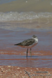 Common Greenshank 9142.jpg