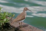 Common Sandpiper 4199.jpg