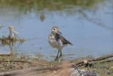 Common Sandpiper 8726.jpg