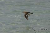 Common Sandpiper 9135.jpg