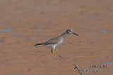 Grey-tailed Tattler 8895.jpg