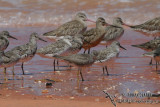Grey-tailed Tattler 9157.jpg