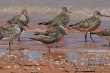 Grey-tailed Tattler 9158.jpg