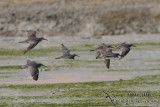 Grey-tailed Tattler 9597.jpg