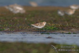 Little Stint 2544.jpg