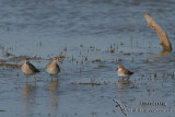 Little Stint 5878.jpg