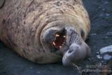 Eared Seals and True Seals