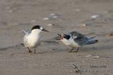 Terns and Noddies