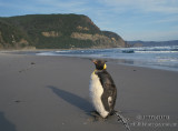 King Penguin s0086.jpg