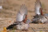 Peaceful Dove 2424