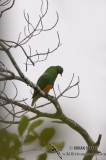 Orange-bellied Fruit-Dove 0216.jpg