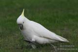 Sulphur-crested Cockatoo 6299.jpg