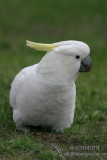 Sulphur-crested Cockatoo 6303.jpg