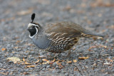 Quail and other Game Birds