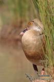 Plumed Whistling-Duck 3464