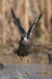 Pacific Black Duck 5677