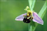 Bijenorchis