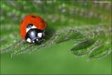 Zevenstip Lieveheersbeestje