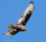 Dark Morph Ferruginous Hawk
