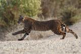 Bobcat Stalking Prey