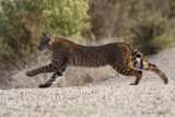 Friendly Bobcat Encounters in So Cal