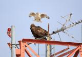 Ferruginous Hawk Vs Golden Eagle