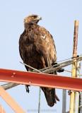 Golden Eagle at 1000mm